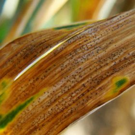 Septoria Tritich Blotch - Crop Smart