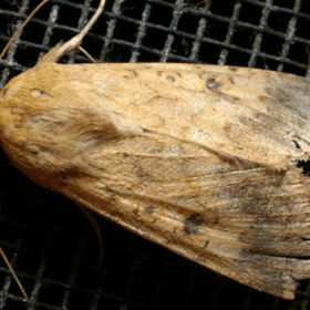 Native Budworm Moth - Crop Smart