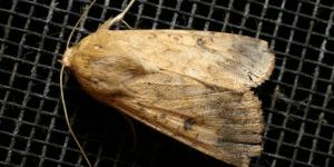 Native Budworm Moth - Crop Smart