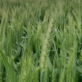 Hay v Grain - Where to get the best return Crop Smart September 2018
