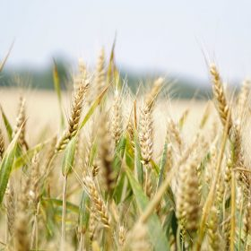 close up of wheat in a crop, Crop Smart