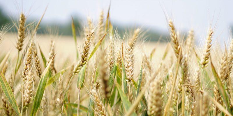 close up of wheat in a crop, Crop Smart