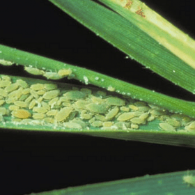 RWA, russian wheat aphid