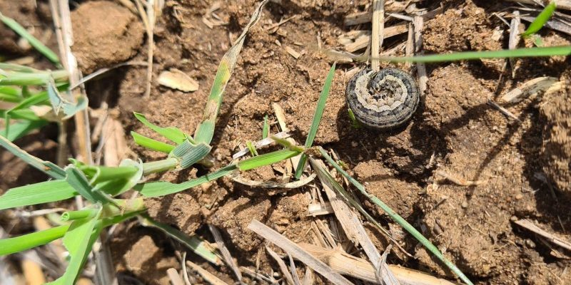 armyworm curled up in crop
