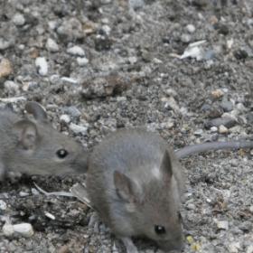 mice control in paddock